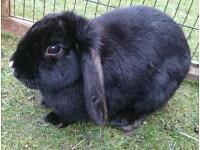 Adult Female Mini Lop Rabbit
