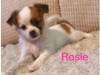 Top Quality KC Registered Long Haired Chihuahuas