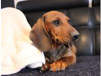 Dachshund Puppy Male