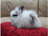 double mane lionhead baby rabbits