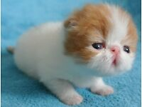 Beautiful Pure Bred Persians Kittens.