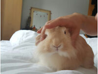 Super friendly lion loop bunny looking for a lovely family