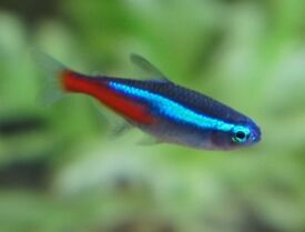 NEON TETRAS TROPICAL FISH