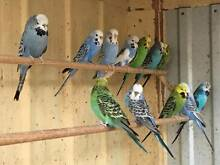 Budgies - budgerigars Gladstone Park Hume Area Preview