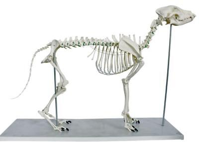 large dog skeleton model Canine skeleton model veterinary animal skeleton model