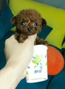 Tiny Micro Teacup / Tea Cup Poodle Teddy Bear Dog 2lb full grown