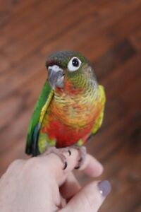 BABY PEARLY & HIGH RED YELLOW SIDED GREEN CHEEK CONURES
