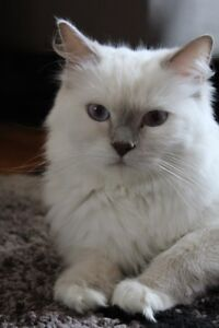MITTED LILAC RETIRED RAGDOLL FEMALE FOR ADOPTION