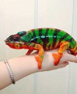 Beautiful Chameleons available