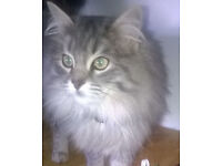 MISSING Grey Fluffy Cat from Cross Lanes, Richmond, North Yorkshire
