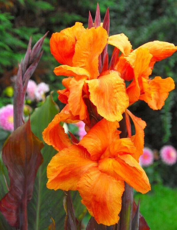 ⭐️🌻🌞🌴 1 x *TOP* 🌞CANNA ORANGE WYOMING🌞 bis 3m Indica indisches Blumenrohr