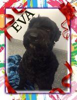 EVA - giant schnauzer pour adoption