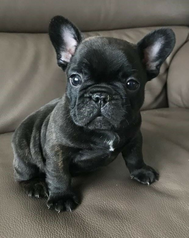 amazing healthy french bulldog puppies just one boy remaining in