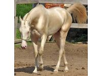 HORSE WANTED FOR LOAN!