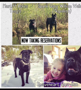 Registered ICCF Cane Corso Puppies