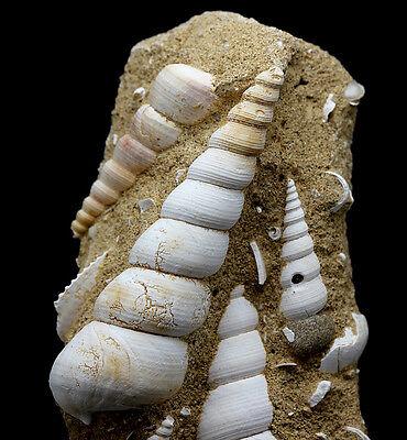 Sea Shell Snail Fossil Turritella Plate Matrix Specimen Fossilized MOROCCO Agate