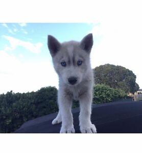 9 week old husky Hoppers Crossing Wyndham Area Preview