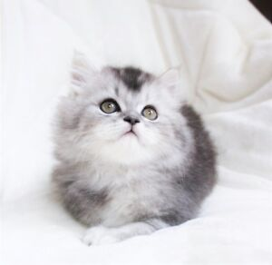 Beautiful Persian kittens are ready for adoption