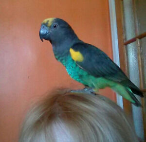 Young friendly DNAed MEYER PARROT MALE