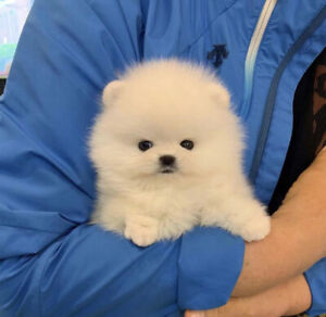 Pomeranian | Adopt Dogs & Puppies Locally in British