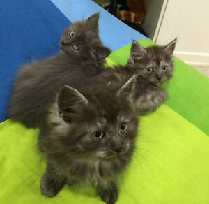 Long haired Manx kittens