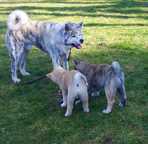 REGISTERED JAPANESE AKITAS - 1 AVAILABLE