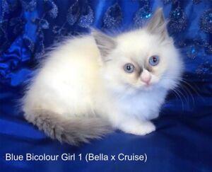 Ragdoll Pure Bred Kittens