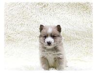 Pomsky puppy for sale