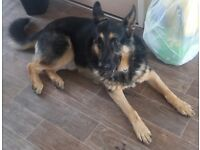GSD male dog - genuine reason for rehoming