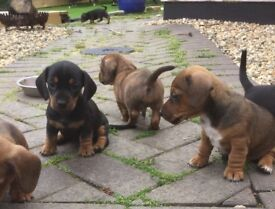 NEW PRICE!! Stunning smooth haired mini dachshunds