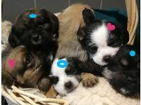 Jug x Leshon puppies ready NOW
