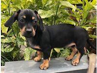 Miniature dachshund x French bull dog