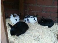 Dwarf bunnies very cute