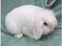 Lovely friendly Blue eyed lop rabbit
