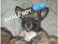 Chihuahua long coat boys