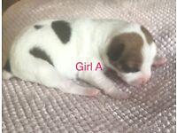 6 female Chihuhua cross puppies