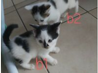 Kittens looking for forever home (Available to leave now)