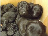 Gorgeous Labradoodle Puppies 5 weeks old Ready to find their forever homes in May for sale  Solihull, West Midlands