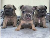 Stunning KC registered BLUE french bulldog puppies