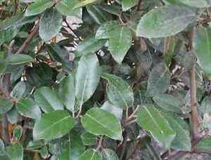 Elagnus verde 10 piante da siepe piantine in vaso siepe for Siepe in vaso