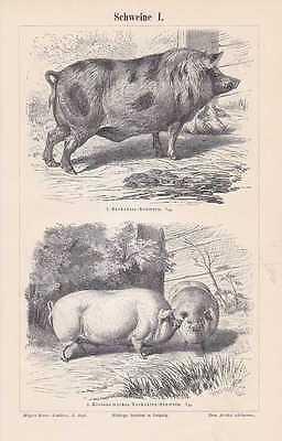 Schweine Schweinerassen Berkshire HOLZSTICH von 1897 Hampshire Maskenschwein