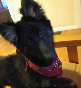 1 year old German Shepherd, looking for home