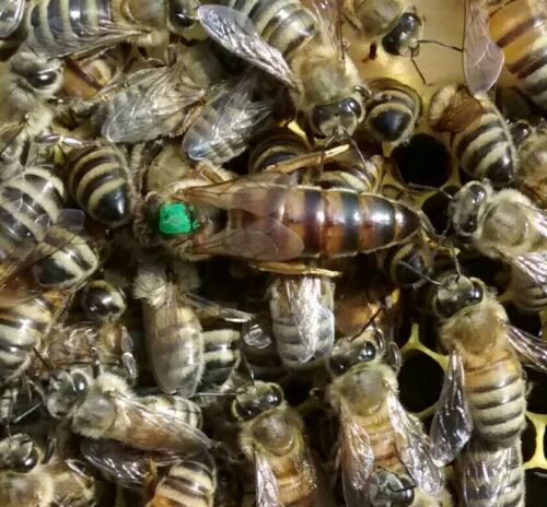 "Shipping July 6  - Marked 2020 ""Hybrid"" Live Mated Honeybee Queen"