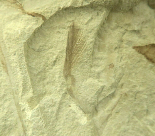 Feather Fossil Three Leaves  Rare Combo! Green River Formation Utah