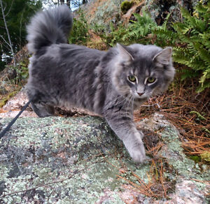 Handsome male Maine coon