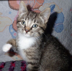 Adorable Mitten Tabby Kitten