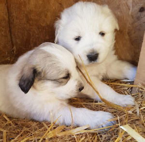 Purebred Great Pyrenees Puppies for sale