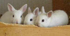 Netherland Dwarf babies - Frosty Point Villawood Bankstown Area Preview