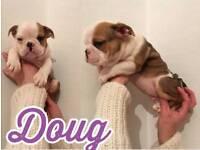 Kc Registerd British Bulldog puppies