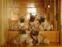 Amazing french bulldog puppies